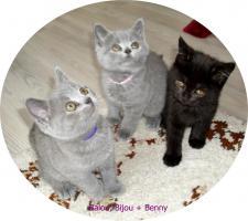 Foto 3 Bkh Kitten, reinrassig mit Papiere