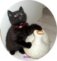 Foto 4 Bkh Kitten, reinrassig mit Papiere