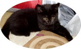 Foto 6 Bkh Kitten, reinrassig mit Papiere