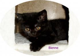 Foto 7 Bkh Kitten, reinrassig mit Papiere