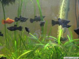 Foto 2 Black Mollys, Marmorierte Mollys Stk.0,80 cent