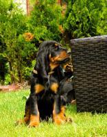 Foto 3 Black and Tan Coonhound Welpen aus Hobbyzucht mit Papiere