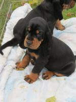 Foto 2 Black and Tan Coonhound welpen