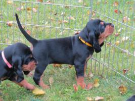 Foto 3 Black and Tan Coonhound welpen