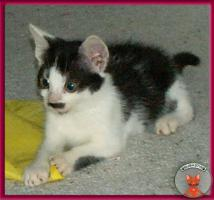 Foto 2 Blini: ein süßes, pfiffiges Katzenbaby