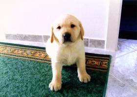 Foto 2 Blonde Labrador Welpen nur in liebevolle Hände !