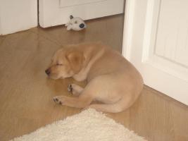 Foto 3 Blonde Labrador Welpen nur in liebevolle Hände !