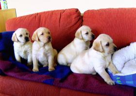 Foto 4 Blonde Labrador Welpen nur in liebevolle Hände !