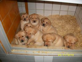 Foto 5 Blonde Labradorwelpen