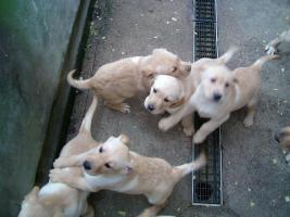 Foto 3 Blonde Labradorwelpen