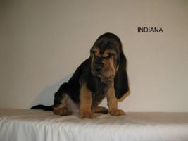 Foto 2 Bloodhound Reinrassige Welpen