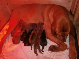 Foto 3 Bloodhound reinrassige Welpen zu Abnahme