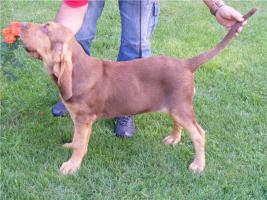 Foto 2 Bluthund Hündinnen zum Vum verkauf