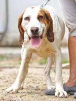 Foto 2 Bluthund Mix MEGA sucht ein Zuhause oder PS