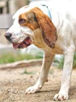 Foto 4 Bluthund Mix MEGA sucht ein Zuhause oder PS