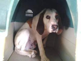 Foto 6 Bluthund Mix MEGA sucht ein Zuhause oder PS
