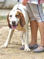 Foto 8 Bluthund Mix MEGA sucht ein Zuhause oder PS