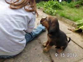 Foto 3 Bluthund Welpen