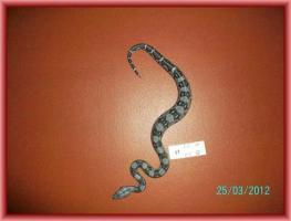 Foto 4 Boa Constrictor Imperator
