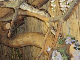 Foto 3 Boa Constrictor mit Terrarium in GUTEN HÄNDEN abzugeben