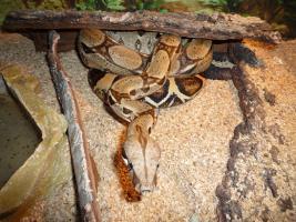 Boa constrictor constrictor dringend abzugeben!!!