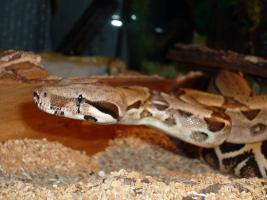 Foto 2 Boa constrictor constrictor dringend abzugeben!!!