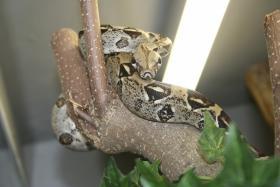 Foto 2 Boa constrictor imperator Bock von 2003