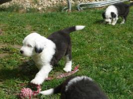 Bobtail - Old English Sheepdog