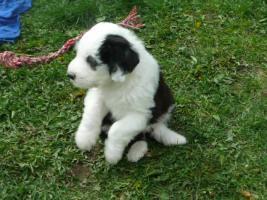 Foto 3 Bobtail - Old English Sheepdog