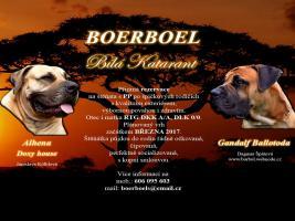 Boerboel Welpen FCI