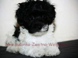 Foto 3 Bolonka Zwetna Welpen- kleine Schößhündchen