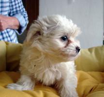 Foto 3 Bolonka Zwetna Welpen - russische Schoßhündchen