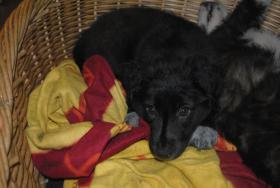 Foto 2 Border Collie-Schäferhundmischling