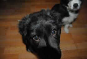 Foto 4 Border Collie-Schäferhundmischling