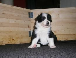 Border Collie Welpe mit Papiere