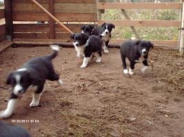 Foto 8 Border Collie Welpen