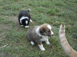 Foto 4 Border-Collie-Welpen