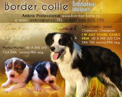 Border Collie Welpen mit FCI Stammbaum