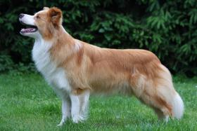 Foto 2 Border Collie Welpen in Farbe ee-red
