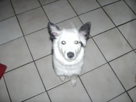 Border-Collie schwarz-weiß (5 Monate)
