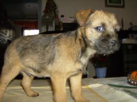 Foto 2 Border Terrier Welpen