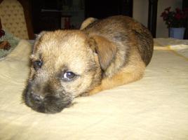 Foto 4 Border Terrier Welpen