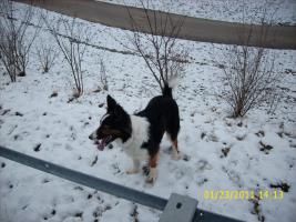 Foto 4 Border collie