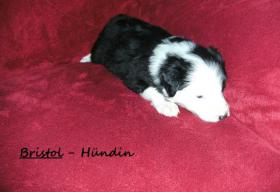Foto 2 Border collie welpen