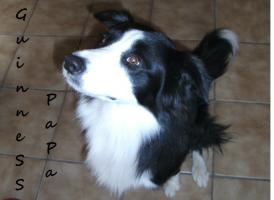 Foto 6 Border collie welpen