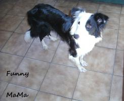 Foto 7 Border collie welpen