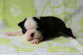 Foto 2 Boston Terrier Champion Pups