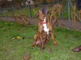 Foto 8 Boxer Hunde