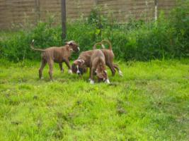 Foto 3 Boxerwelpen mit Stammbaum