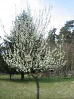 Brauchen ihre Obstbäume mal wieder einen fachkundigen Schnitt